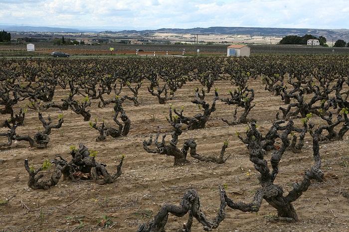 Domaine La  Teyssonnieres vineyard.jpg